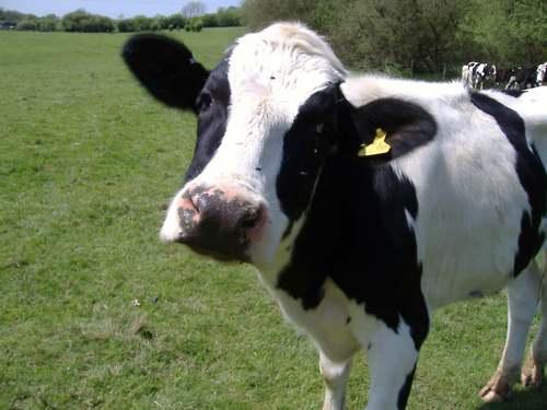 Das ist eine Kuh